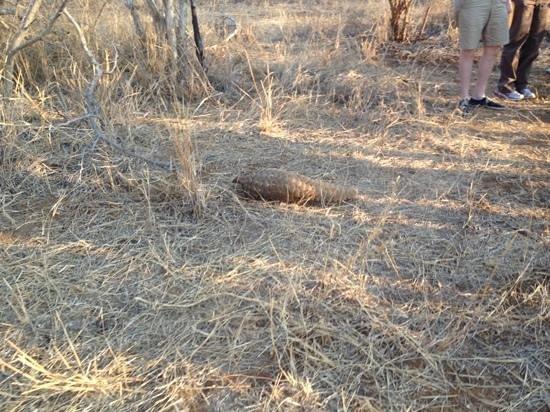 Sanctuary Makanyane Safari Lodge: pangolin
