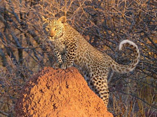 Okonjima Bush Camp: the cub (no collar yet)