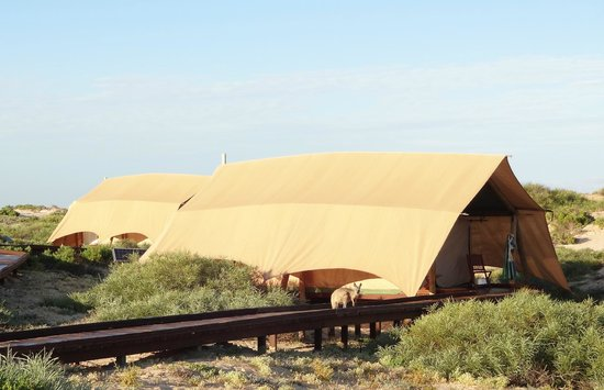 Sal Salis Ningaloo Reef: Other tents with welcoming Kangaroo
