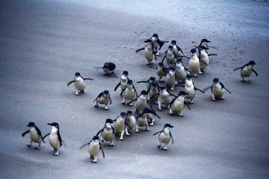 Blue Penguins Pukekura: Little Blue Penguins waddle onto the beach after dark