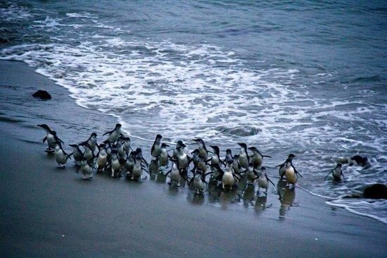 Blue Penguins Pukekura: Little Blue Penguins return to Pilot's Beach after dark