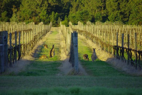 Nightingale Wines Luxury Villas: Vineyards with kangaroos