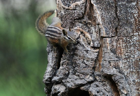 Pine Edge Cabins : Chipmunk in Silver Gate