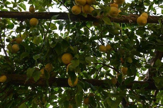 Ristorante Costa Diva: Lemons in the dining area