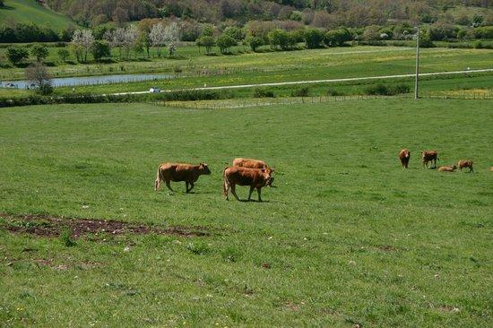 Agriturismo Il Poggiolo: pascolo delle nostre mucche e lago pesca sportiva