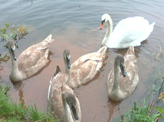 The Globe Inn : One of the 2 Mute Swan families on the canal