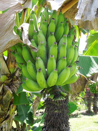 The Old Hawaiian B&B: fruit trees on property