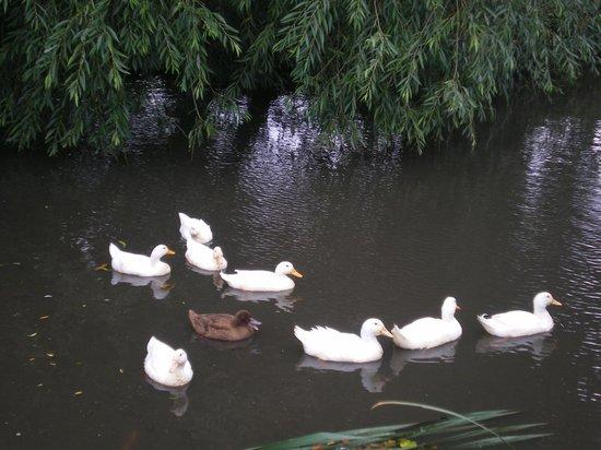 Huntstile Organic Farm: Loved the ducks