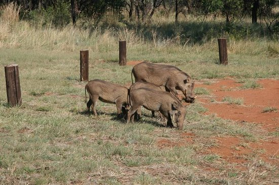 Mountain Sanctuary Park: A family of warthogs in the campsite
