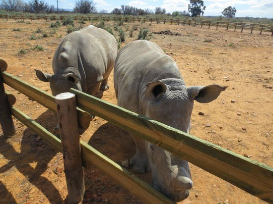 Inverdoorn Game Reserve: Baby rhinos outside my room!