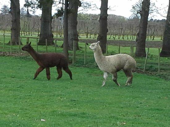 John's House & The Pavilion : Alpacas in the paddock next door