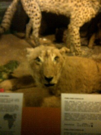 National Museum of Natural History: A lion?