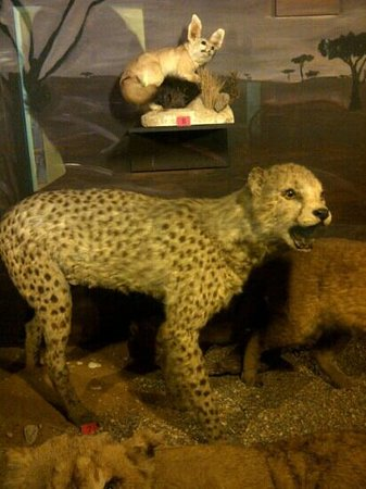 National Museum of Natural History: A cheetah?