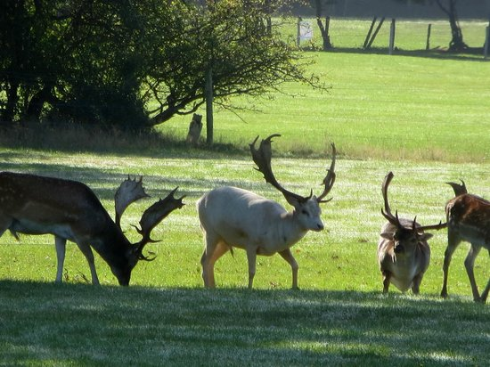New Park Manor: One of the white stags
