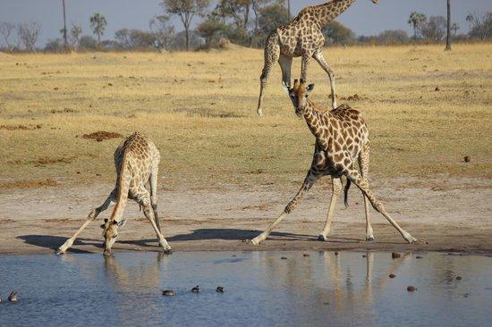 Wilderness Safaris Davison's Camp: Long necks