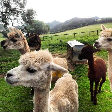 Widmouth Farm Cottages: alpacas want their breakfast