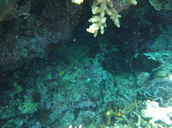 Menjangan Island: Trumpetfish