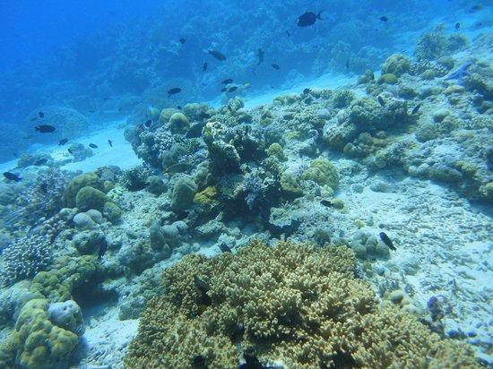 Menjangan Island: coral