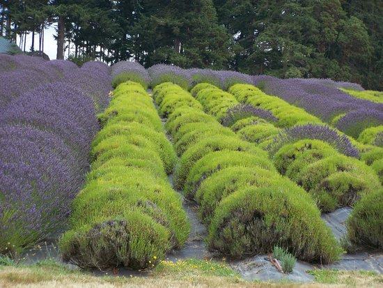 Pelindaba Lavender Farm: Endless fields of Lavender