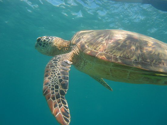 Pandan Island Resort: Snorkelling with turtles