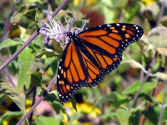The Wild Center: Monarch