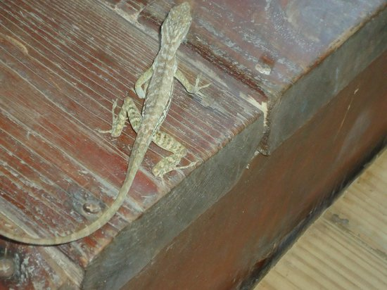 Beach House Aruba Apartments: One of the many and for us cute lizards on the site