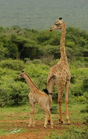 Pakamisa Private Game Reserve: Giraffes
