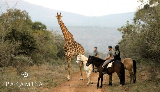 Pakamisa Private Game Reserve: Riding with giraffes