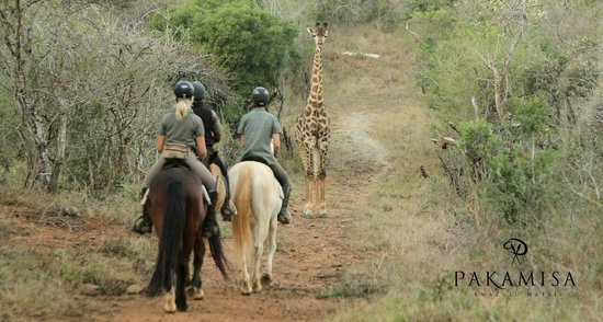 Pakamisa Private Game Reserve: riding close to giraffes