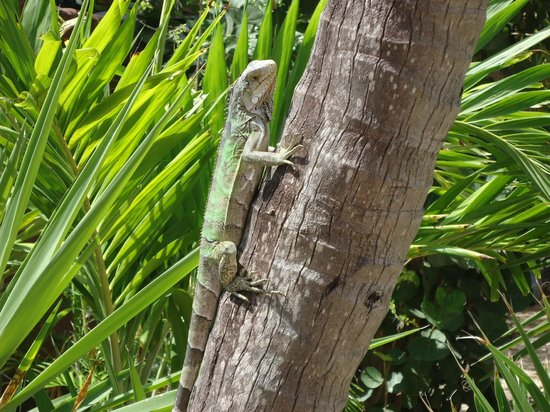 Beach House Aruba Apartments: iguana on site