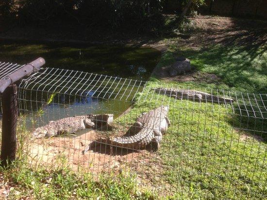 Crocodile Centre St Lucia: nile crocodiles