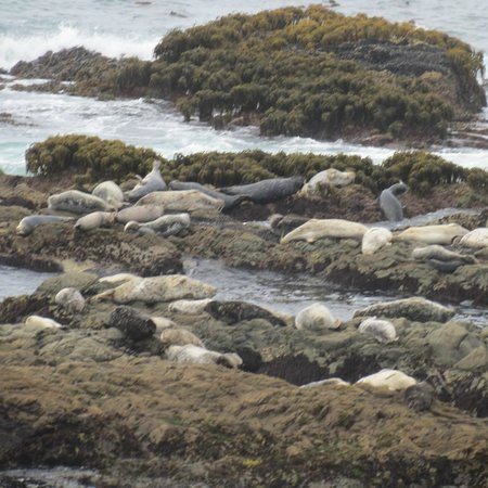 The Tides Inn of Shelter Cove: Seals!!!!