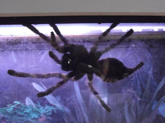 Newfoundland Insectarium: One of the Insectarium's many Tarantulas