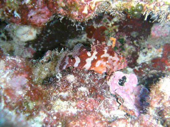Sirena Diving Center : scorpion fish