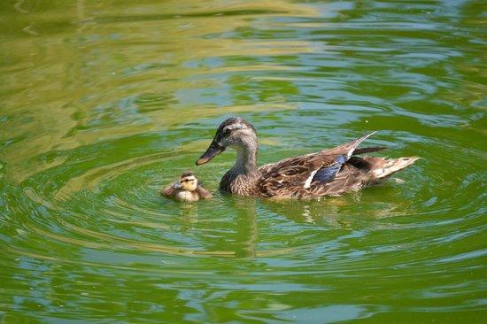 White Oak Lavender Farm: Ducks
