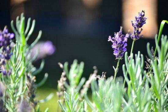 White Oak Lavender Farm: Lavender