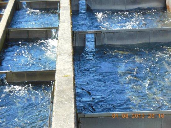 Macaulay Salmon Hatchery/DIPAC : salmon on way to open sea