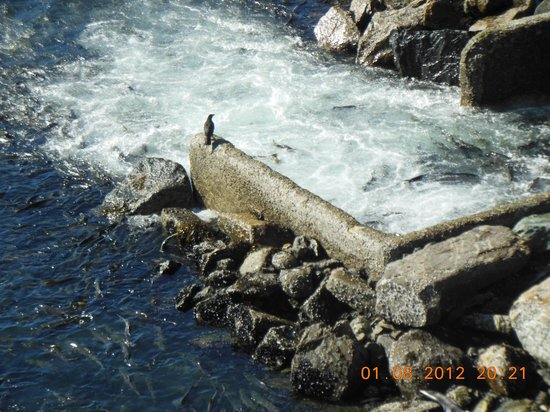 DIPAC's Macaulay Salmon Hatchery : released in open water