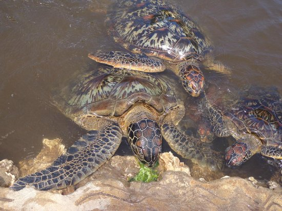 Dhow Inn: Sea turtle conservation