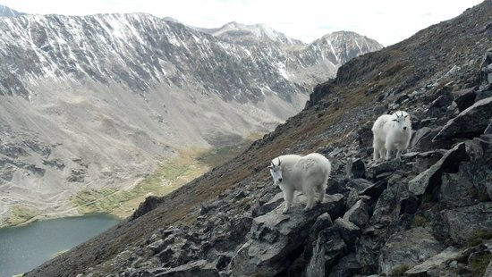 Breckenridge, CO: mountain goats along the trail near the summit.