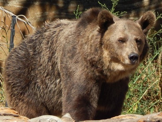 Montana Grizzly Encounter: Maggi Sept 2013