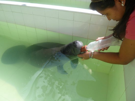 Amazon Rescue Center: Manati bebe