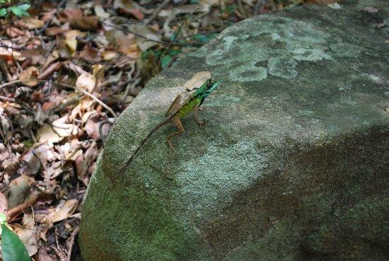 Ritigala Forest Monastery : a rare garden lizard