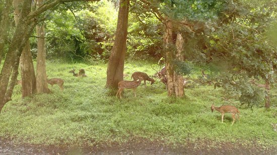 Pollachi, Indie: Deers without fear in their home...Annamalai-parambikulam