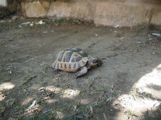 Hotel Kalehan: Resident turtle