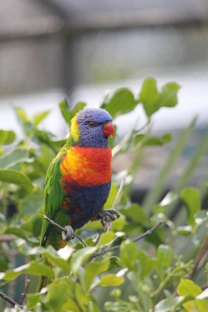 Brooklands Zoo: Lorikeet