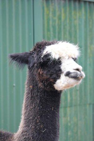 Brooklands Zoo: Lama