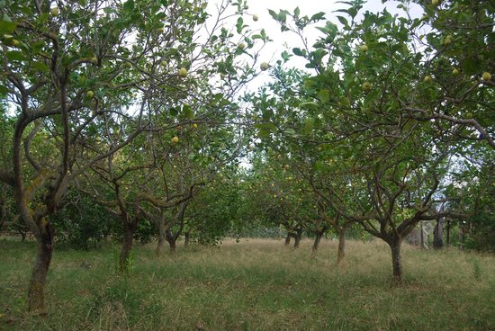 Agroturismo Can Pere Sord: citroenbomen