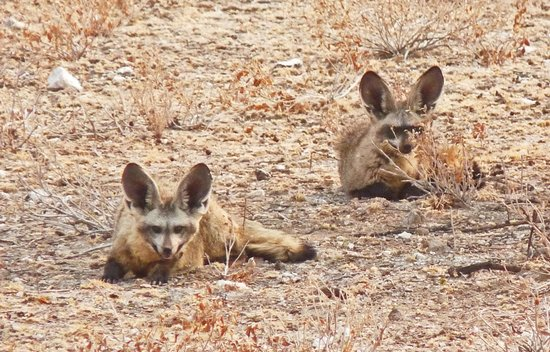 Tau Pan Camp - Kwando Safaris: Bat-eared foxes in the desert