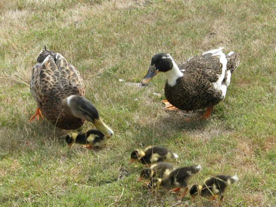 Glenbrook House and Cottage: Our resident ducks